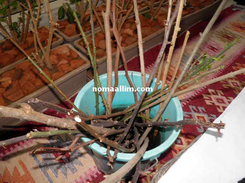 Plants propagation from cuttings